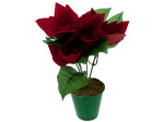 8 inch red potted poinsettia